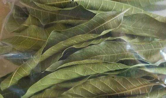 como usar las hojas secas del árbol de mango
