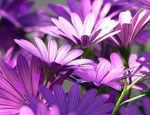 Cromoterapia violeta