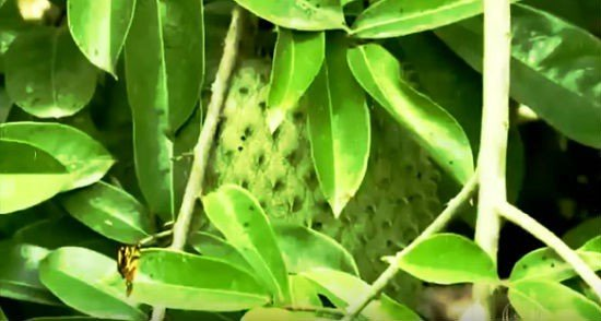 beneficios de las hojas de graviola