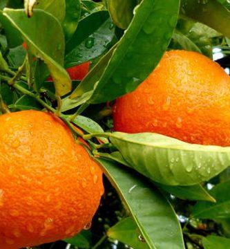 para que sirve la hoja de naranja