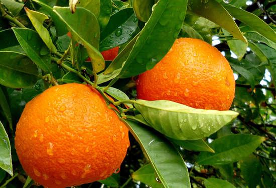 Para Qué Sirve La Hoja De Naranjaqué Curan