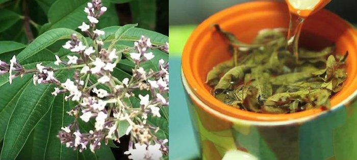 beneficios medicinales del cedron o hierba luisa