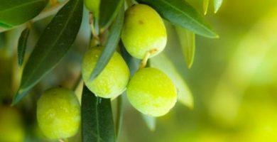 para que sirven las hojas de olivo