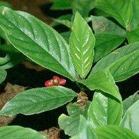 planta ipecacuana beneficios