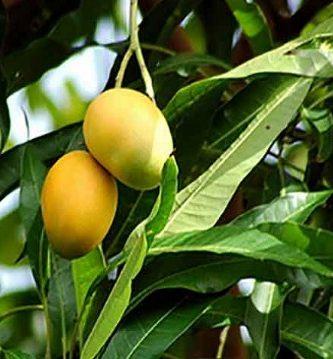 para qué sirve la hoja de mango