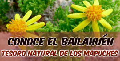 para qué sirve el bailahuén hierba medicinal