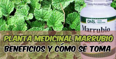 para qué sirve el marrubio como planta medicinal