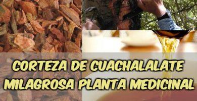 para qué sirve la planta cuachalalate